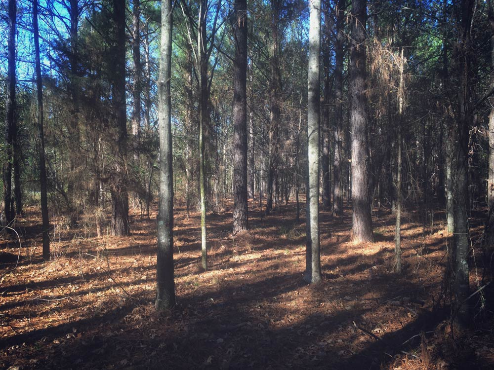 Hargrove-Reforestation-Pine